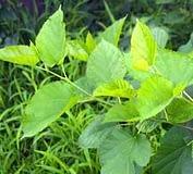 chlorophyllin ariix restoriix